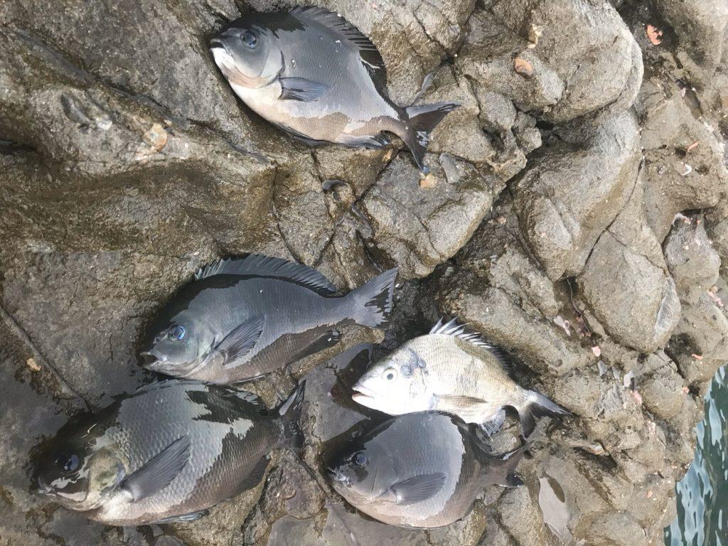 ダンゴ釣りで釣れた魚たち