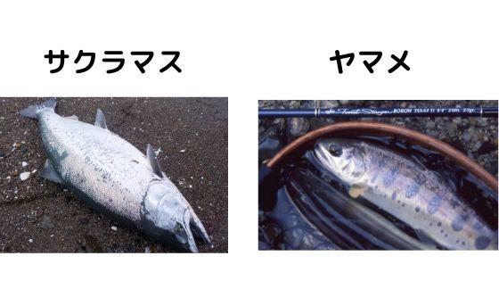 サクラマスとヤマメの比較写真