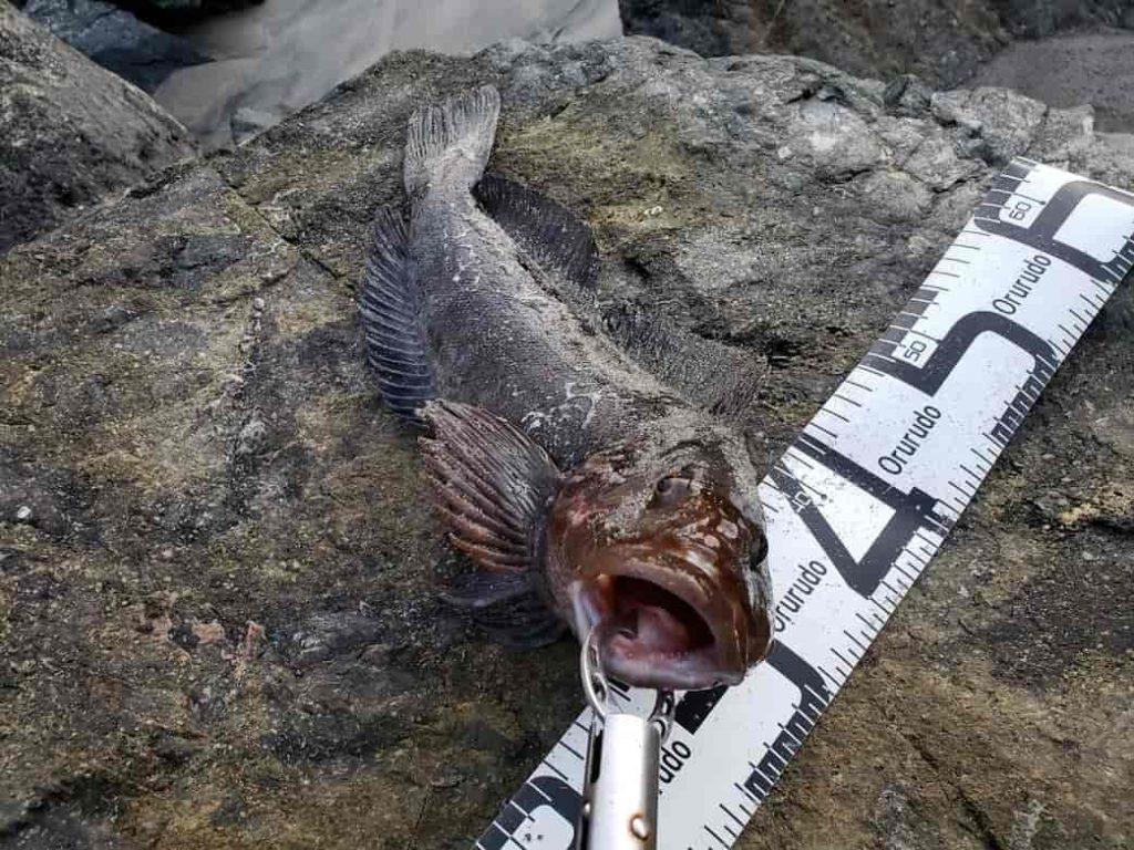 アイナメがワームで釣れた写真