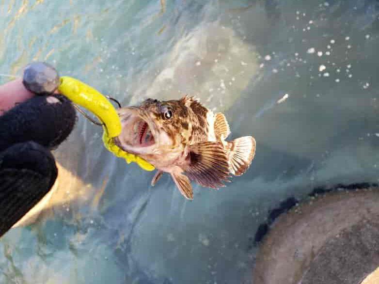穴釣りでムラソイが釣れた