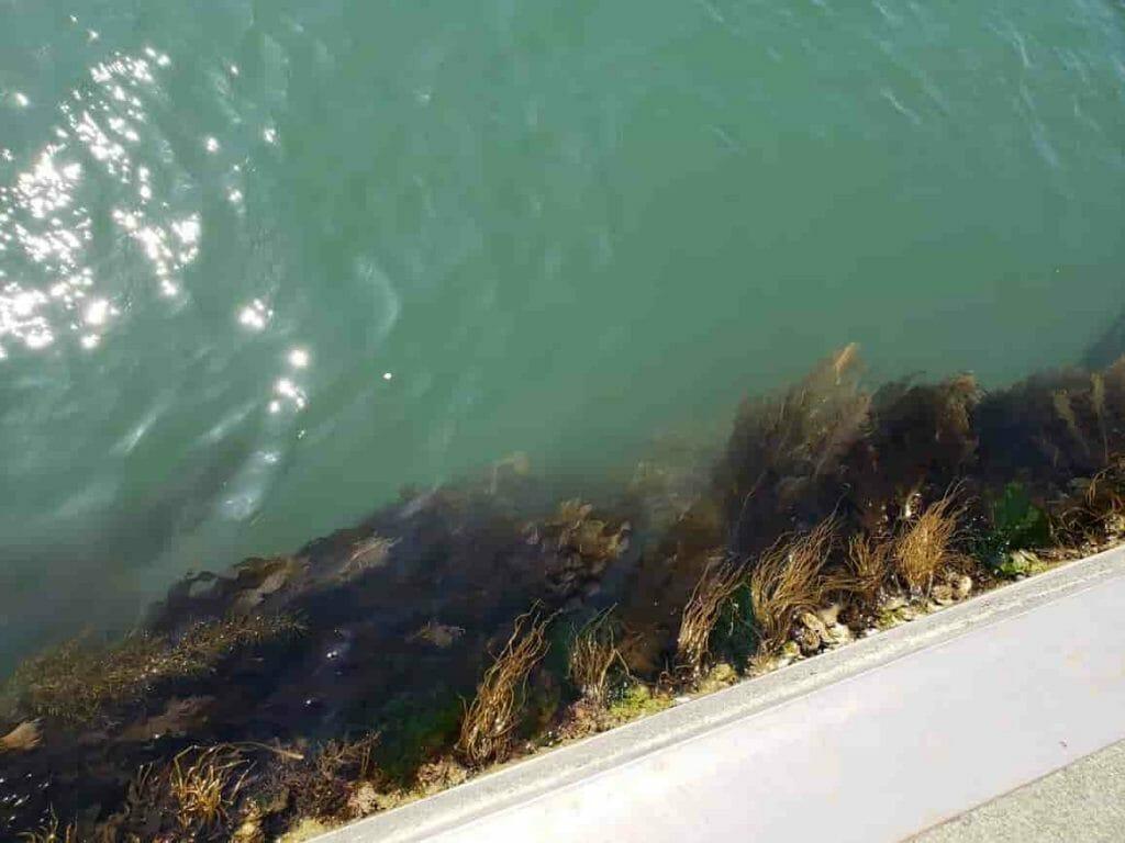 海藻が生えている堤防の写真