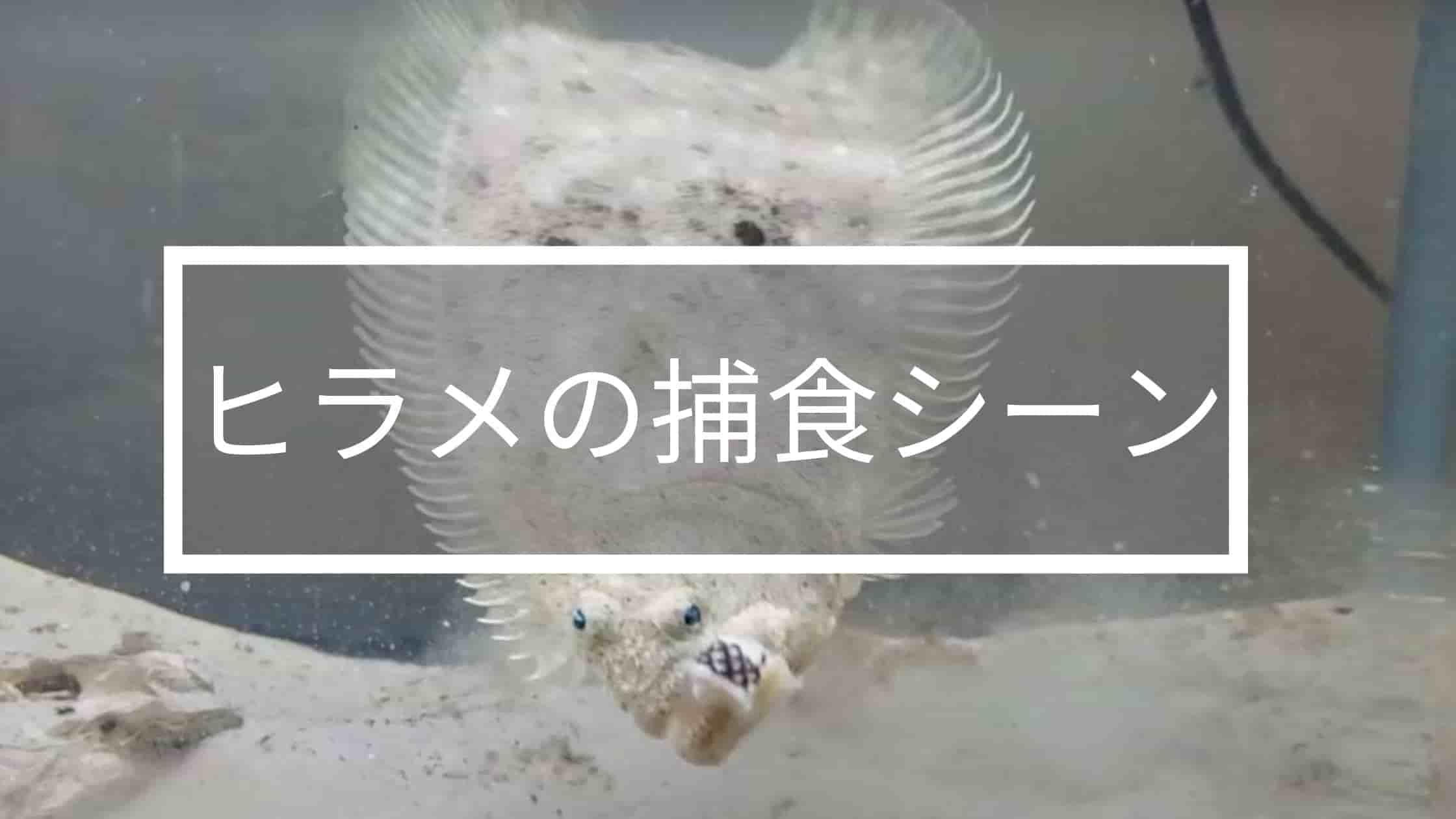 ヒラメの捕食シーン
